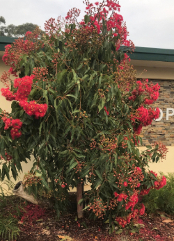 Flowering Gum (pic courtesy of Pete Southby)